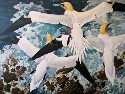 Keith Shackleton Artist Gannets