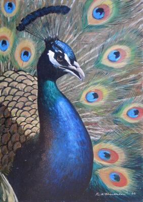 Keith Shackleton Artist Peacock