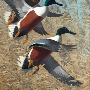 Keith Shackleton artist Northern Shoveler Duck - Original Oil painting