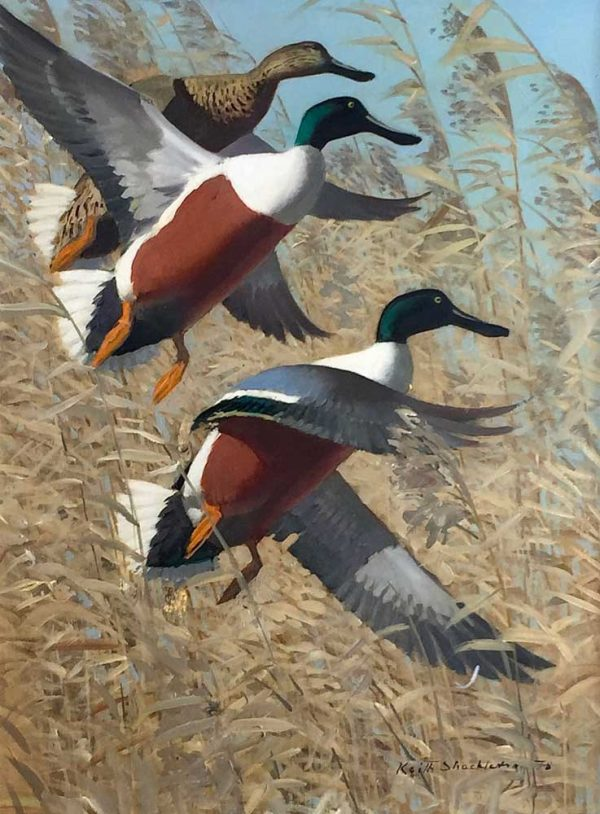 Keith Shackleton artist Northern Shoveler Duck - Original Oil painting